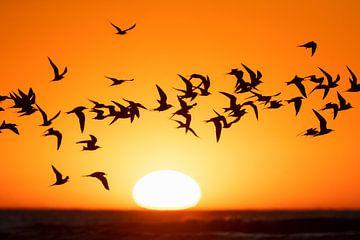 Gruppe Flussseeschwalben (Sterna hirundo) mit untergehender Sonne von Beschermingswerk voor aan uw muur