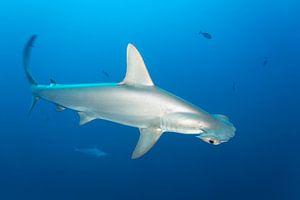 Bogenstirn-Hammerhai oder Gekerbter Hammerhai (Sphyrna lewini) van