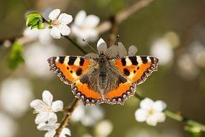Vlinder op bloem - Lente