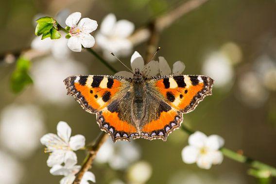 Vlinder op bloem - Lente van Rouzbeh Tahmassian