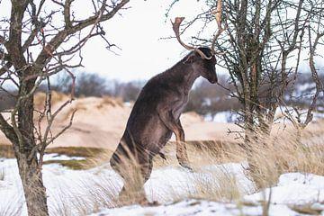 Steigerend damhert met gewei in de sneeuw van Anne Zwagers