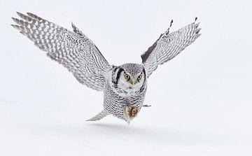 Chouette des moissons (Surnia ulula) chassant dans la neige sur AGAMI Photo Agency