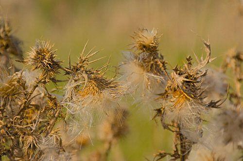 Flaumige Samen einer Distel von Kristof Lauwers