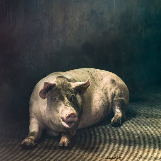 Pig of the day