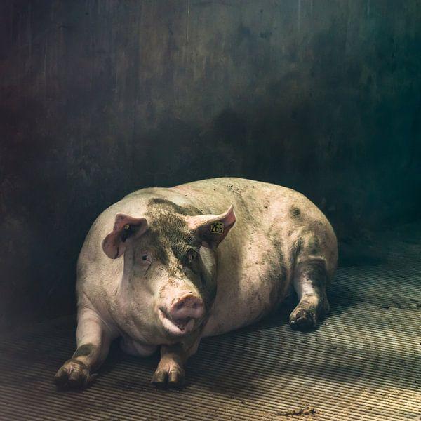 Pig of the day van Niek van Schie