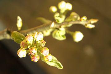Nahaufnahme Blumen-Birnenbaum von Sjoerd B