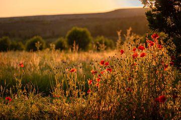 Paysage avec des coquelicots à la lumière dorée du soleil des heures dorées sur Mayra Pama-Luiten