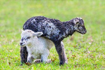 Zwei neugeborene Lämmer spielen zusammen in der Weide von Ben Schonewille