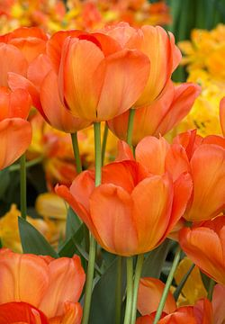 Oranje Tulpen van Johanna Blankenstein