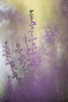 Heidekraut, Erica - Calluna vulgaris 2 von Danny Budts