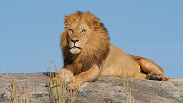 Mannetjes leeuw op rots in Tanzania Afrika van Robin Jongerden