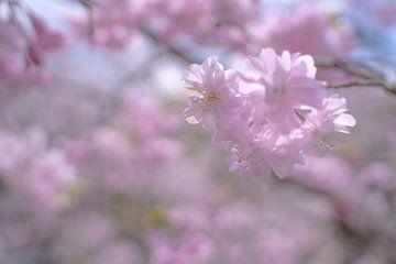 Kirschblüte im weichen Morgenlicht von Mickéle Godderis