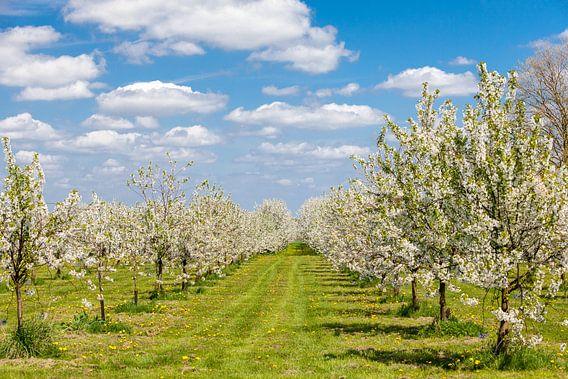 Fruitbomen in bloei van Marcel Derweduwen