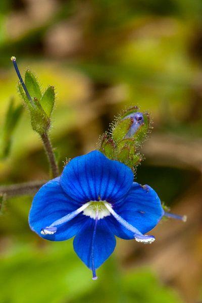 Kleine blauwe bloem van Pieter van Roijen