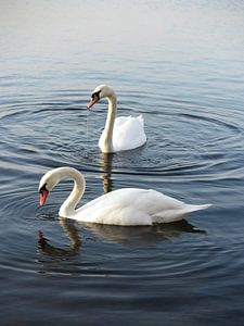 Prachtige witte zwanen