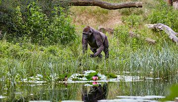 gorillaire reflecties van Graham Forrester