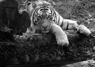 Tiger von Jake's shop