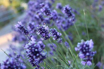 Lavendel Van Dichtbij van Rosalie Broerze