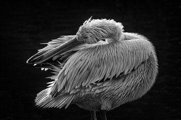 Pelikan in Pose von Elaine Frost