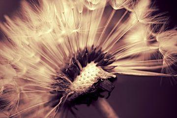 Dandelion sepiadream von Julia Delgado