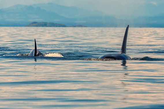 Twee orka's komen op je af zwemmen