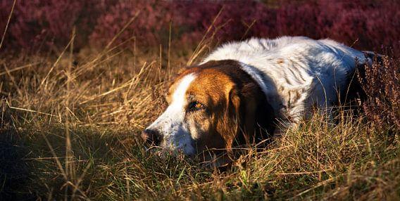 Jachthond liggend in gras en paarse heide