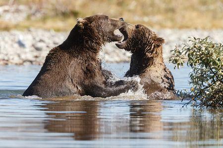 Vechtende grizzly beren