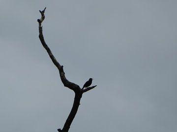 vogel merel van Milovic Adema