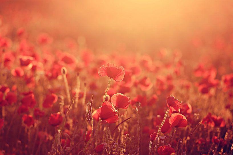 poppies in morninglight ( klaprozen in ochtendlicht)  van Els Fonteine
