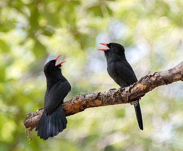 Een paartje zingende zwartvoorhoofdtrappisten van Thijs van den Burg