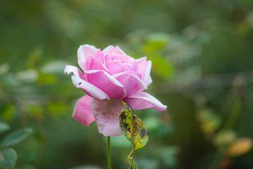 roze herfstroos van Tania Perneel