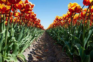 Paadje tussen de tulpen van Wim Stolwerk