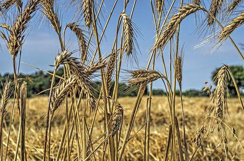 Aan de rand van het korenveld van