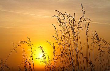 Gräser am Morgen
