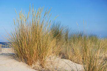 Gras in de duinen van de Middellandse Zee
