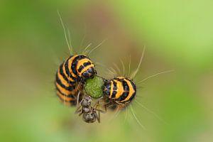De twee rupsen en de mier .....