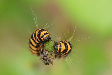 Die beiden Raupen und die Ameise ... von Jacqueline Gerhardt
