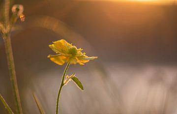 zonnig boterbloempje van Tania Perneel