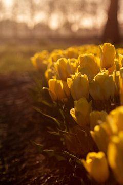 Tulpenveld bij zonsondergang von Leonie Boverhuis