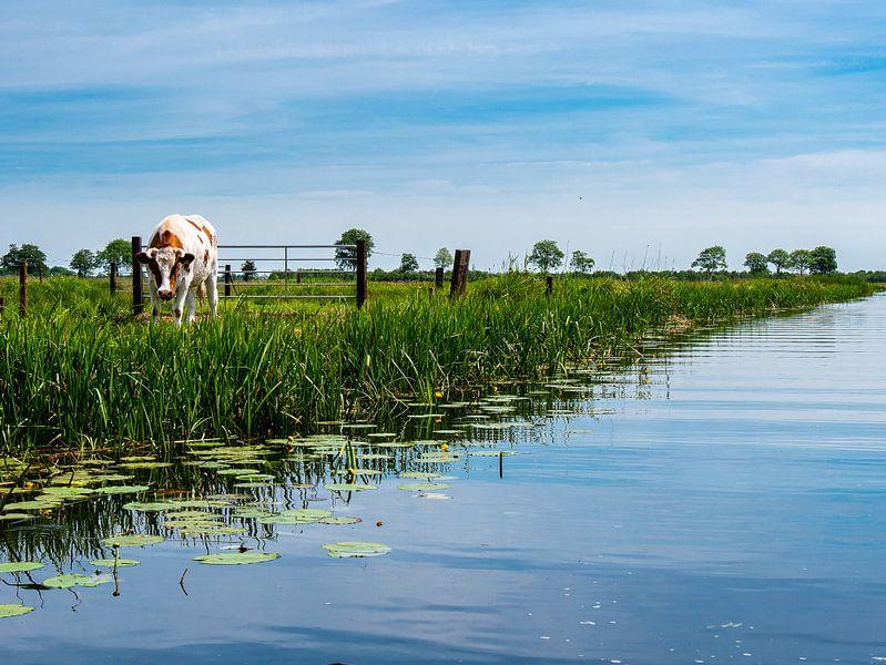 Koe in weiland van Charlotte Dirkse
