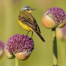 Gele kwikstaart op een bloem van een uienbol sur Menno Schaefer