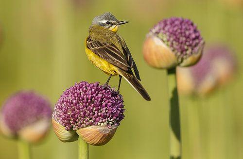 Gele kwikstaart op een bloem van een uienbol sur