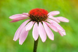 Zonnehoed (Echinacea purpurea) van