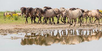 Paarden | Groep konikpaarden in spiegeling - Oostvaardersplassen van Servan Ott