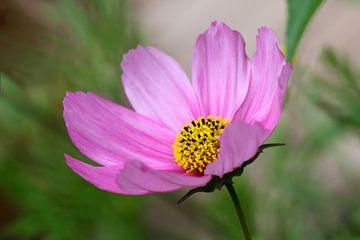 Roze cosmos bloem van Jolanta Mayerberg