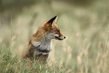 Prachtige vos von Anita Kortus