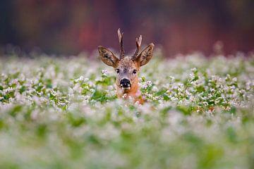 roe deer buck sur Pim Leijen