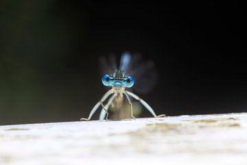 Libelle von Thomas Jäger