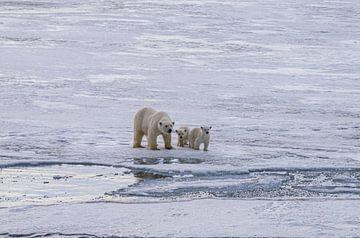 IJsbeer met 2 welpen van Merijn Loch