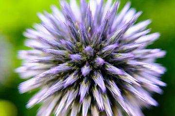 Distel close up van Hilda Palm